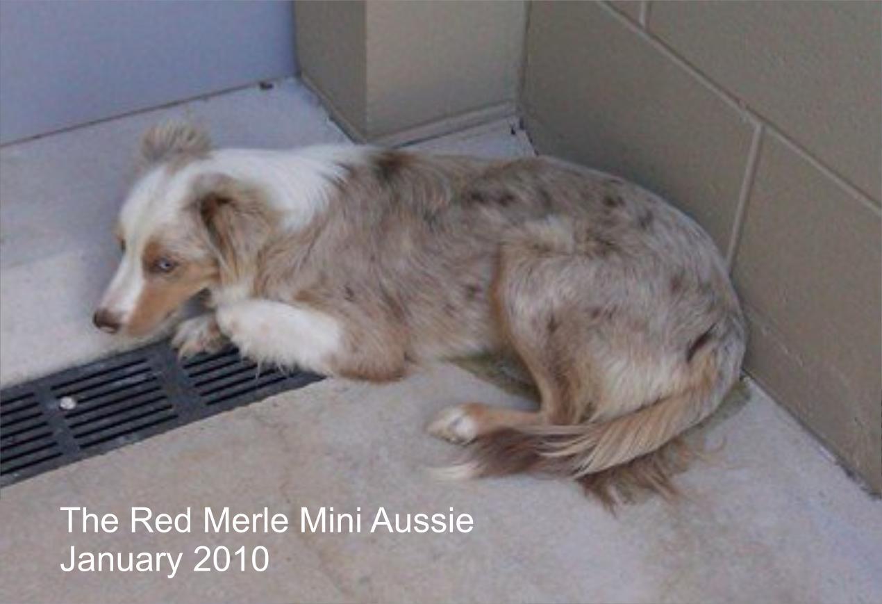 Mini Australian Shepherd Red Merle